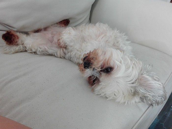 bichon pe canapea